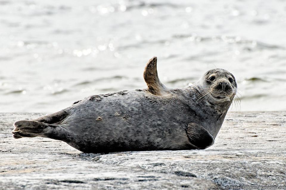 Grey seal on Märket