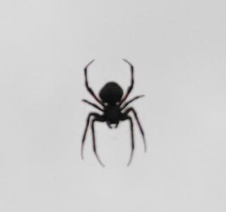 Hanging Spider Pettigrew SP 8254