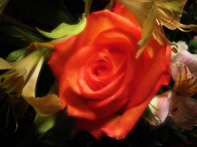 This rose...