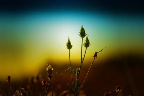 flowers macro nature thailand nikon glow dof bokeh bangkok buds cosmos d80 105mmf28gvrmicro sweetdreamsforme