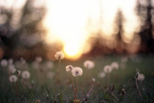 sunset canada film zeiss t edmonton fuji dof bokeh slide fluff dandelion alberta 400 e6 yashica sensia planar fx3 11450mm super2000