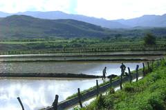 Rice paddies in northern Peru