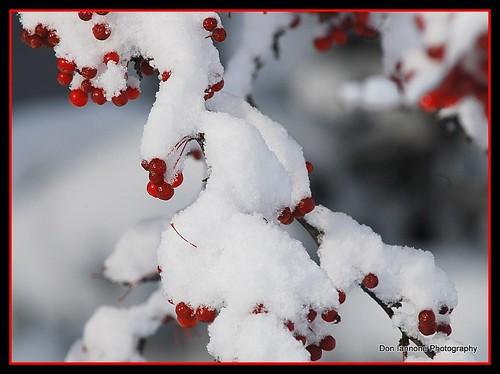 snow robin birds goldfinch firstsnow americanrobin pinecones snowytrees macrophotography evergreentree nikond80 snowyberries evergreentreewithsnow doniannone theperfectphotographer qualitypixels mayfieldvillageohio oletusfotos snowandbirds golfirstsnow pineconeswithsnow autumnleavesinsnowfirstsnow zoomphotographyfirstsnowfirstsnow