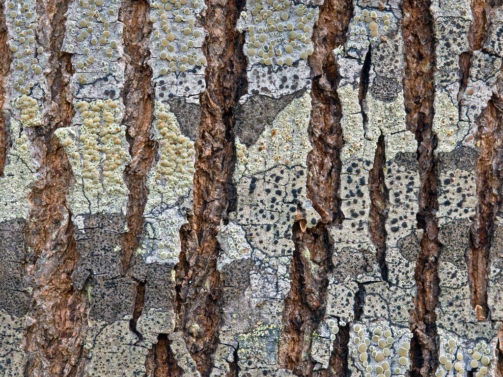 stretched lichens