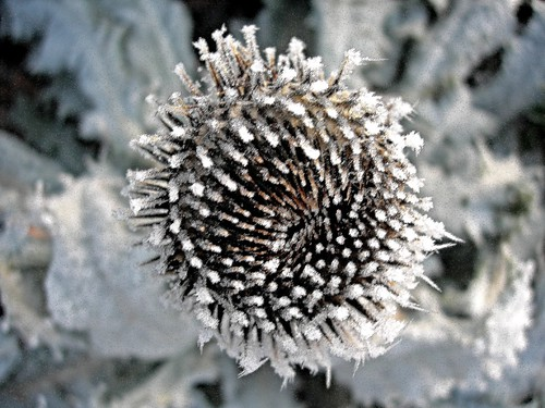 Frosted Thistle | by IrenicRhonda