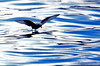 Fork-tailed Storm Petrel by Geographer Dave