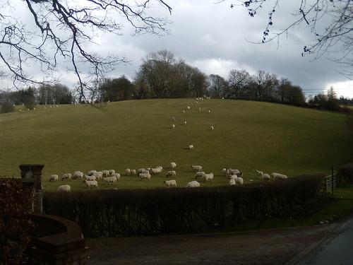 Sheep Knockholt Circular