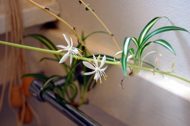Spider Plant Flowers