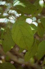 Cordia leaf