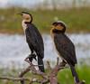 Little Pied Cormorants (Phalacrocorax varius).01 by Geoff Whalan