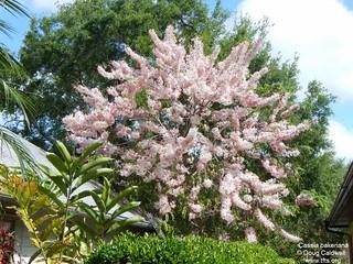 Cassia bakeriana tree | by tftsmiami