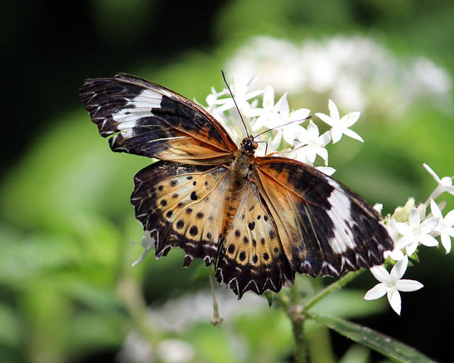 Leopard lacewing butterfly 16_edited-1