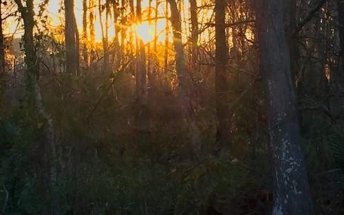 woods pinecones pineneedles moss pinetrees oak leaves bark orange yellow green northshore trees sainttammanyparish sunlight dawn sunup sunrise sun nature outdoors leaf branches outside louisiana mandeville sunbeams lightbeams