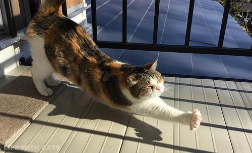 55-09 Calico Japanese cat 縞三毛猫