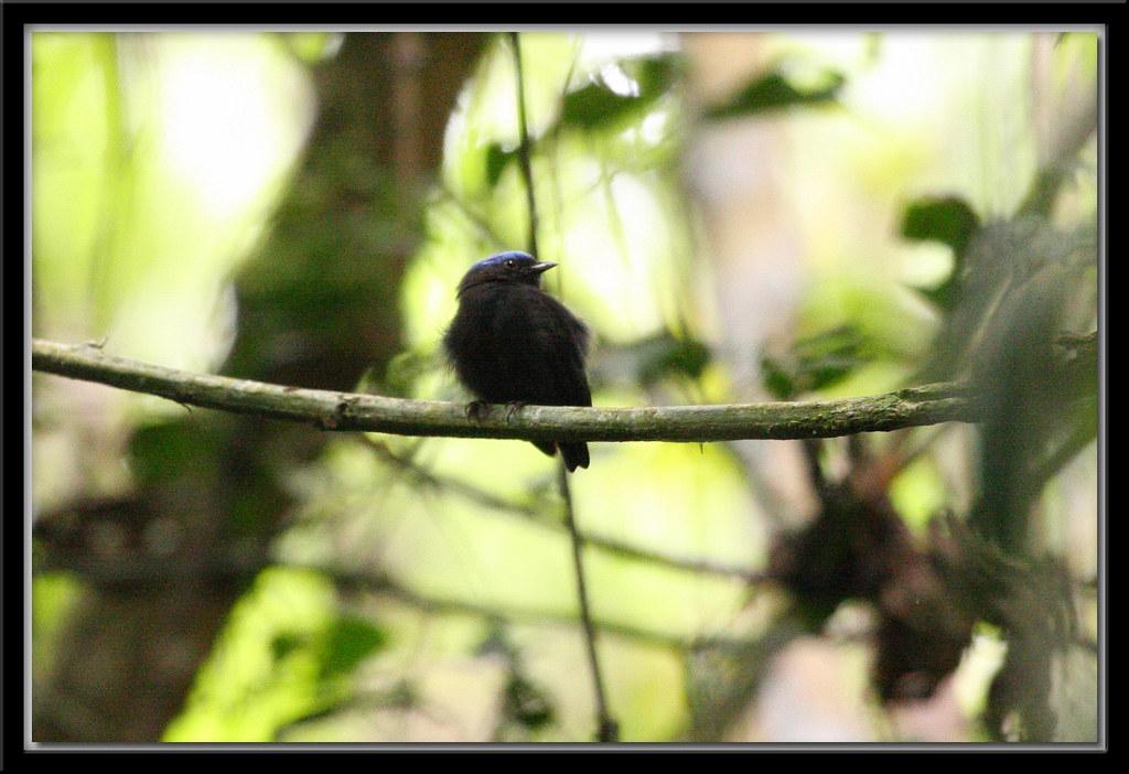Blue-crowned Manakin (Pipra coronata)