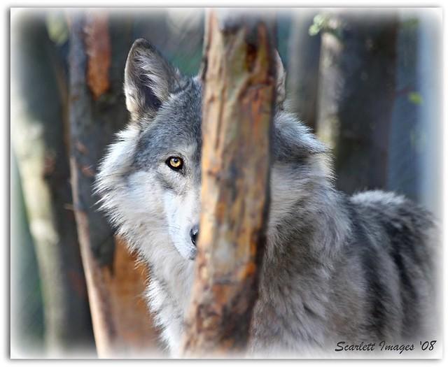 Wary Wolf