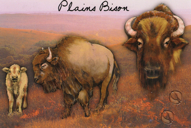Bison Painting Postcard