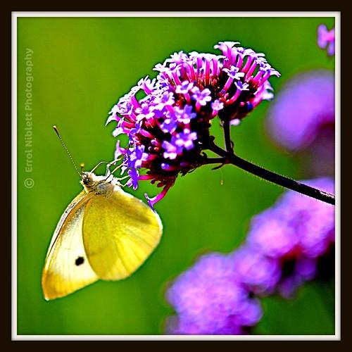 Backlit Butterfly on Verbena bonariensis (2) DSC_4796 by Tripod 01