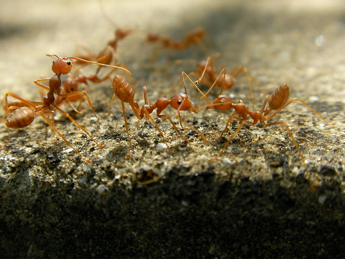Fire Ants | by Marufish