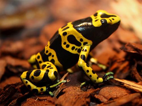 Gelbgebänderter Baumsteiger / Yellow-banded Poison Dart Frog (Dendrobates leucomelas)