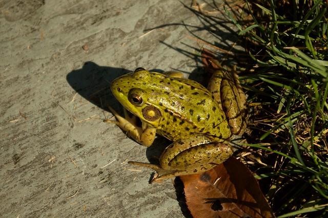 imgp9786 - Frog