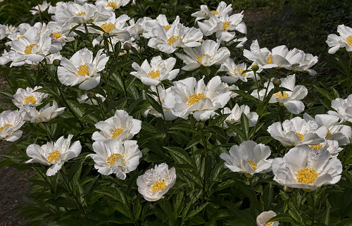 peony patch | by Muffet