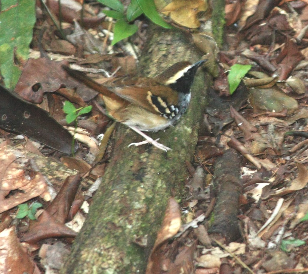 Mymerciza loricata :: White-bibbed Antbird