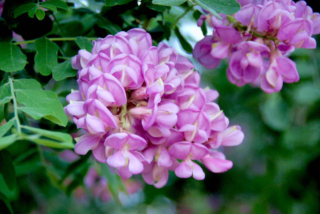 Robinia Neomexicana 3 Native Plants New Mexico Locust,
