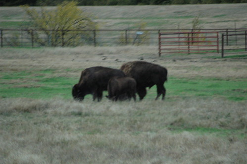 Hays Kansas town buffalo herd | by Kevglobal