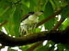 Sulawesi Goshawk-Accipiter griseiceps by Bram Demeulemeester - Birdguiding Philippines