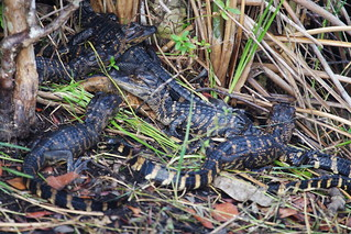 Gator Babies | by Frank Peters