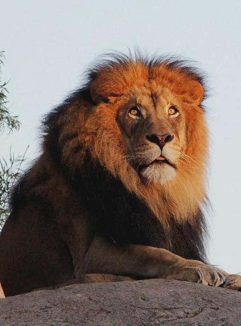 Lion - Izu
