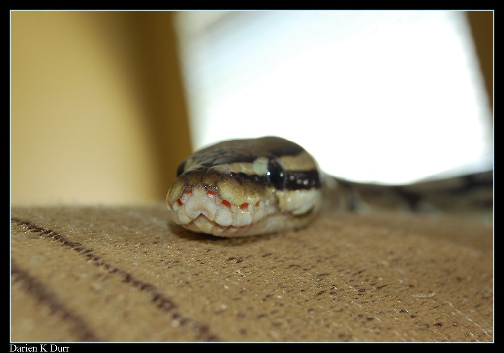 Ball Python Letting You See What The Heat Pits Of A Python Flickr
