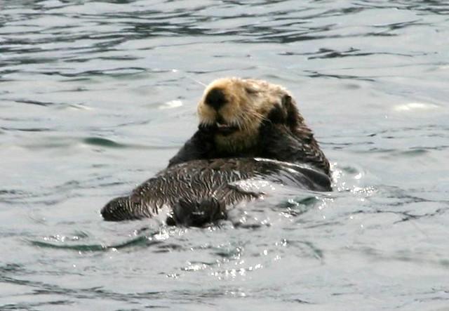 Otter relaxing in Resurrection Bay