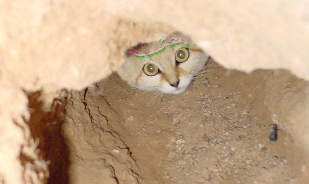 Sand Cat Wild Cat قط بري قط رملي في أرض مستوية السطح Flickr