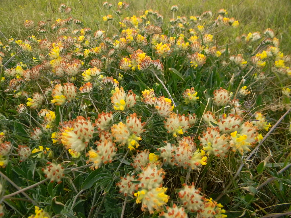 kidney vetch Deal to Dover