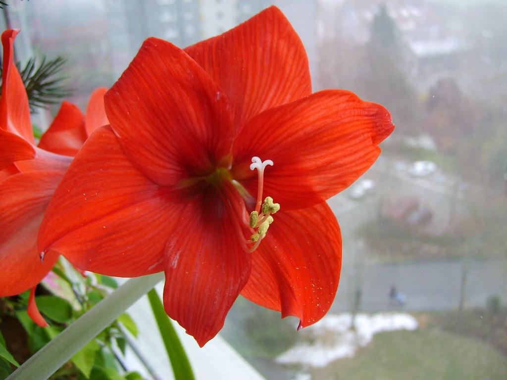 Naked Lady, Belladonna Lily-Naked Lady-Amaryllis belladonn