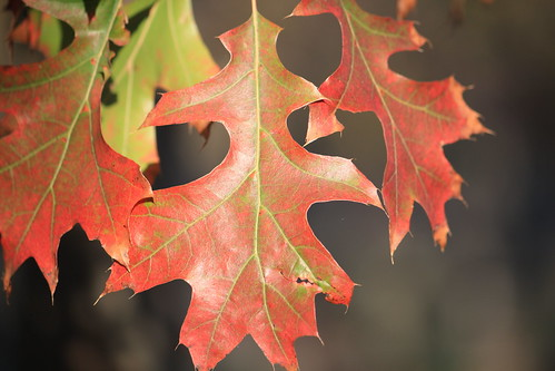 Colored oak leaves | by anneh632