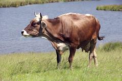крава от био ферма Чемерник