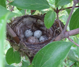 nest of a Yellow Warbler | by Stylurus