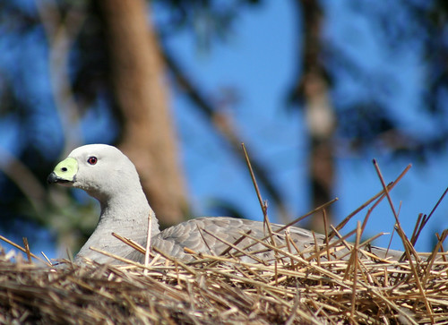 20080714_0359 Cape Barren Goose | by williewonker