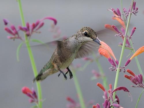 city autumn summer flower bird home nature beautiful landscape nikon colorado hummingbird wildlife coloradosprings bif unidentified d300 specanimal impressedbeauty avianexcellence agastachelicoricemint darinziegler