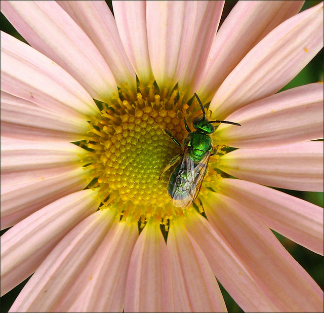 Green Bee on Mums