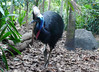 Southern Cassowary by xopherlance
