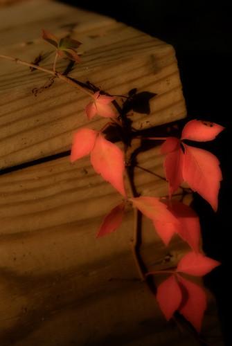 sunset crimson pennsylvania ivy vine ortonprocessing