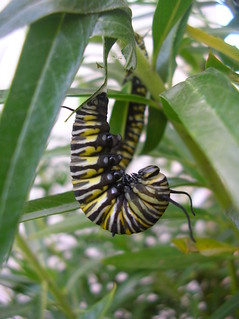 Monarch Caterpiller preparing to go into a chrysalis. | by Lynda W1