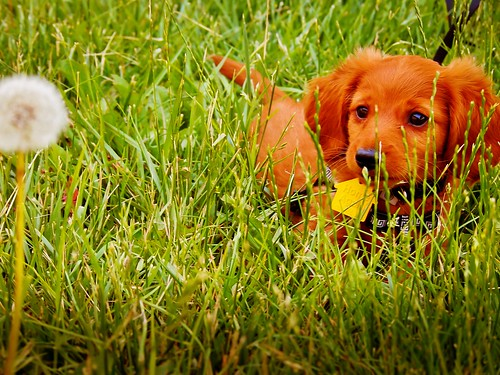 grass dachshund dandelion curiosity stalking weinerdog fourthirds lightroom3 iphoneapp cameraapp micro43s sunkissd olympusepl1 mzuiko40150mm