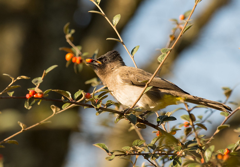 Dark capped Bulbul eating berries
