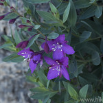 Alpine Fireweed