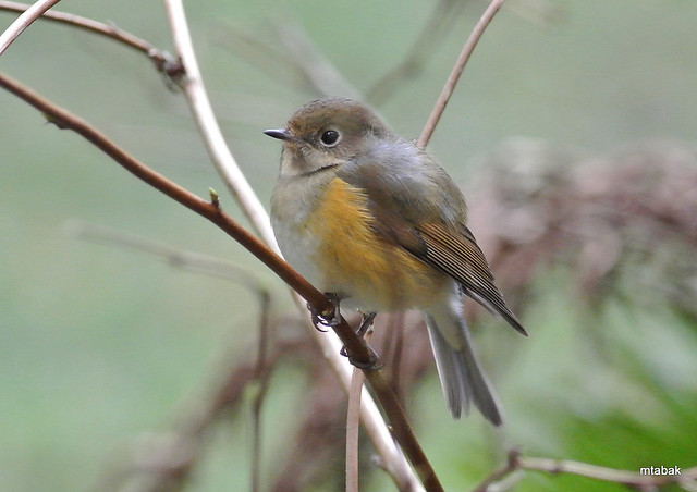 Red-flanked Bluetail 2013-2-23